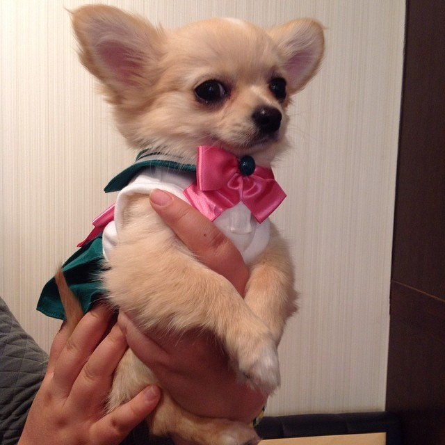 Chihuahua dressed as Sailor Jupiter