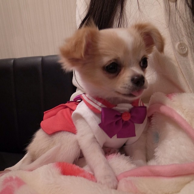 Chihuahua dressed as Sailor Mars