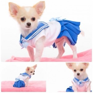 Chihuahua dressed as Sailor Mercury