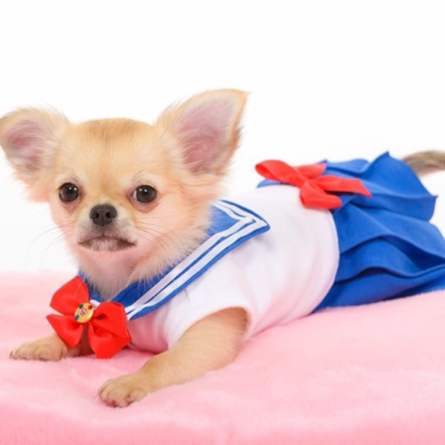 Chihuahua dressed as Sailor Moon