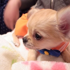 Chihuahua dressed as Sailor Venus