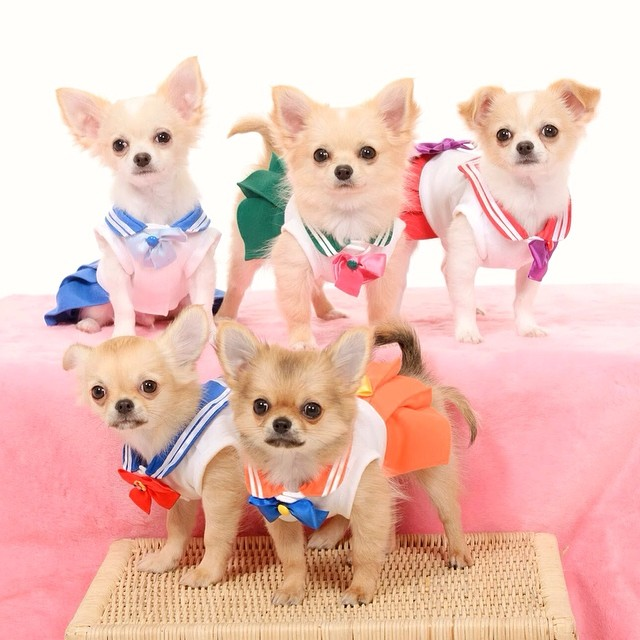 Chihuahuas dressed as characters from Sailor Moon