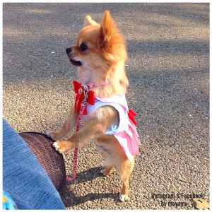 Chihuahuas in Sailor Moon costumes - Sailor Chibi Moon